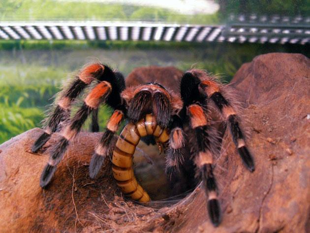 Домашний паук птицеед, как ухаживать и чем кормить?