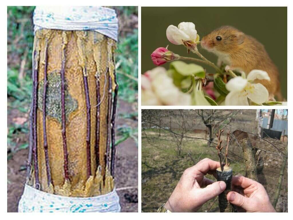 Как спасти яблони, если кору объели мыши и другие грызуны, в том числе погрызли зимой, что делать, чем обработать их после и прочее