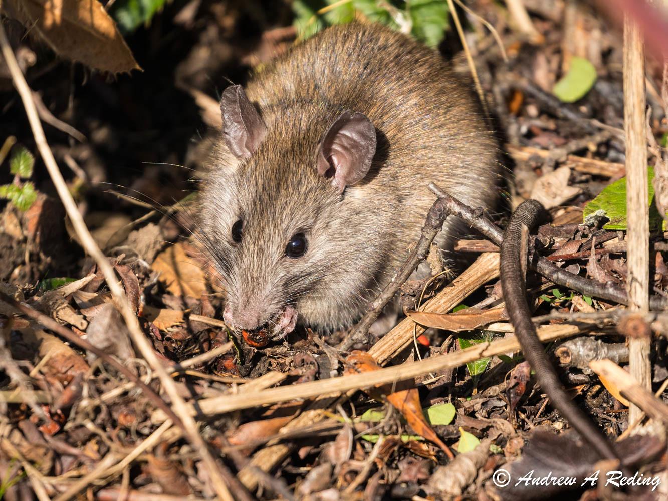 Что нужно знать о домашних декоративных мышах