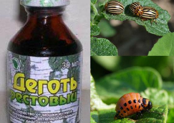 Берёзовый дёготь от колорадского жука: свойства, как разводить, как применять, отзывы
