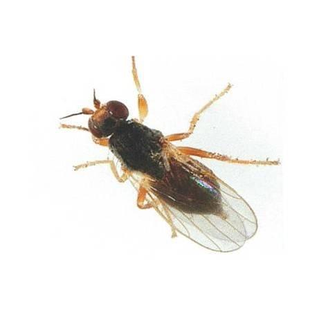 Как бороться со шведской мухой: химические препараты и народные методы