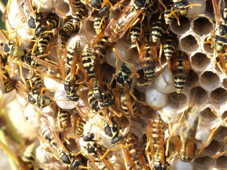 Отличия и сходства осы, пчелы, и шмеля