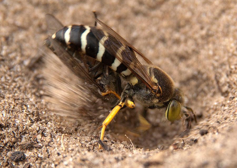 Земляные осы на даче: как избавиться?