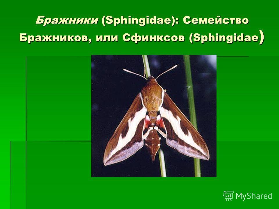 «колибри» средней полосы россии (бабочки — бражники) | экоелец