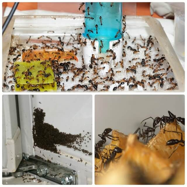 Как избавиться от муравьев в квартире и доме: лучшие средства