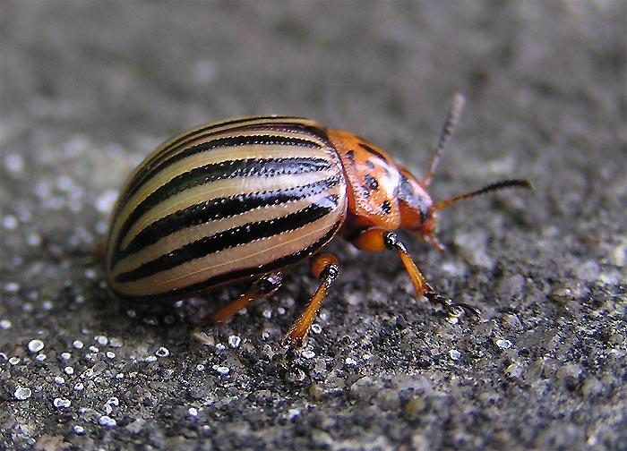 Колорадский жук (фото): почему так называется, интересные факты