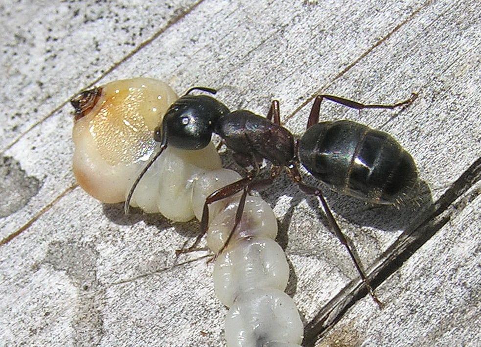 Как вывести красногрудых муравьев древоточцев: химические средства и народные методы