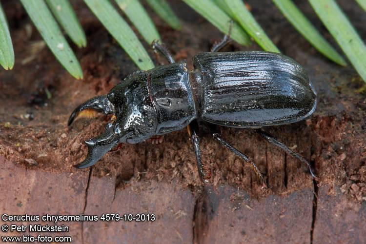 Происхождение и описание жуков-дровосеков. разнообразие и иные факты об этих насекомых