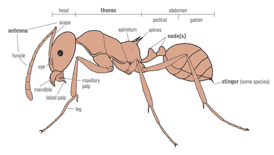 Сколько ножек у муравья: строение лапок у насекомого, основные и вспомогательные функции лап