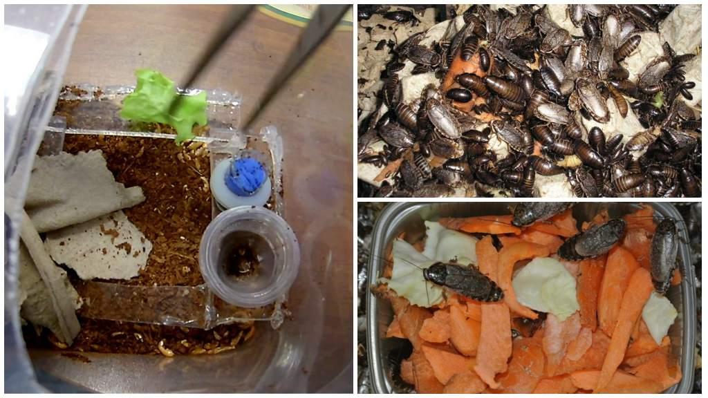 Мраморные тараканы — как разводить правильно
