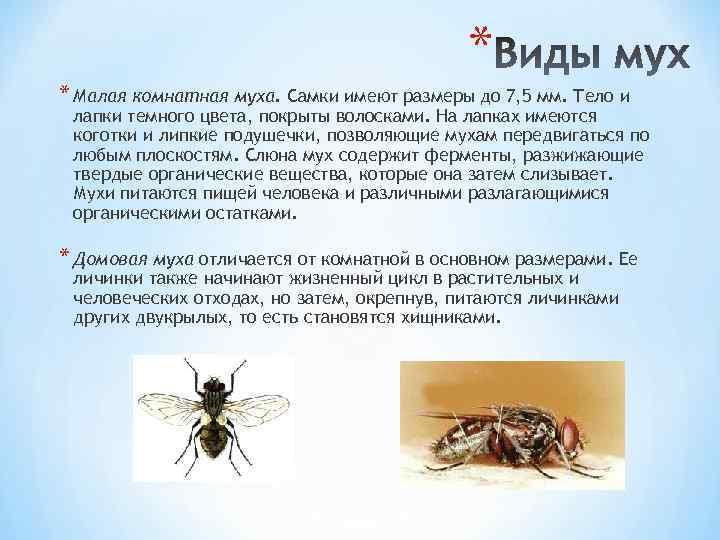 Сколько живёт муха обыкновенная в квартире? Её строение и особенности размножения.