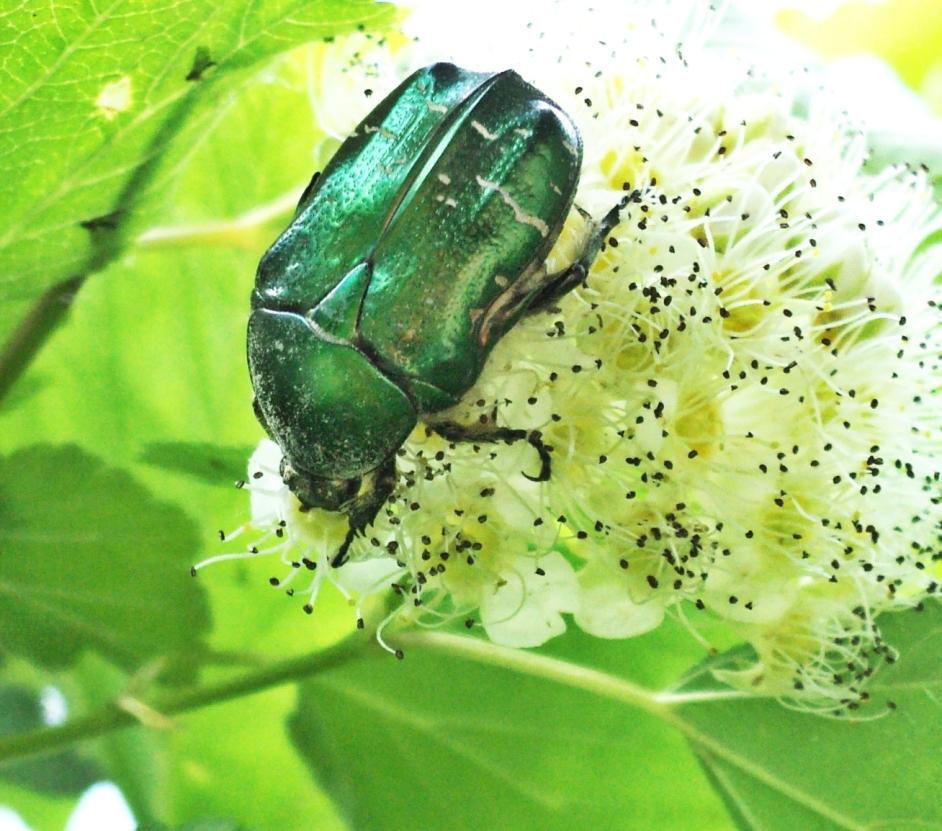 Бронзовка мраморная: фото, образ жизни и охрана насекомого