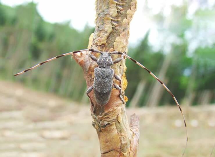 Черный сосновый усач: внешний вид, описание стадий развития и вред, причиняемый насекомыми
