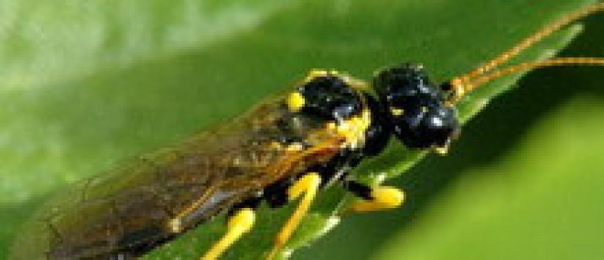 Пилильщик и его гусеницы - борьба с вредителем, виды пилильщиков