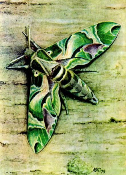 Олеандровый бражник – экзотический гость из тропиков