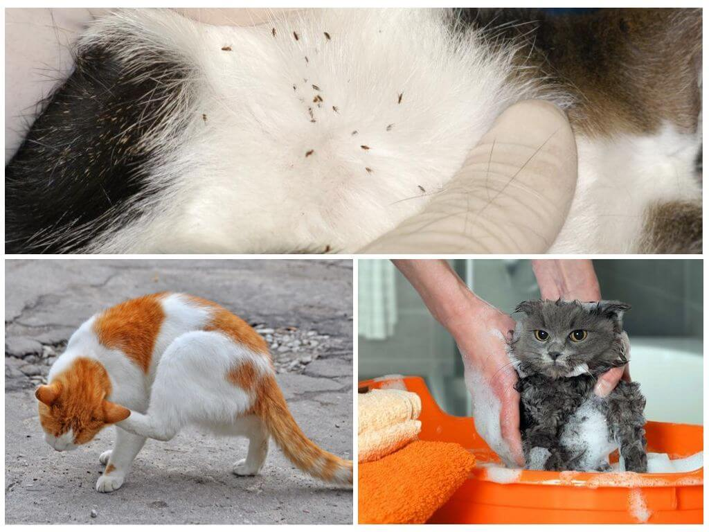 Кошка слизала капли от блох – что делать