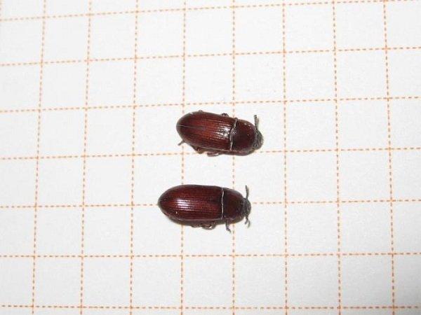 Причины появления небольших коричневых жучков на подоконнике и способы выведения