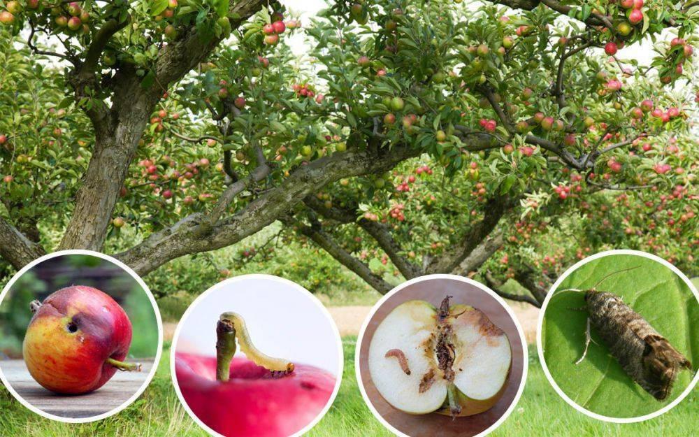 Как эффективно бороться с яблоневым цветоедом: химические средства и народные методы