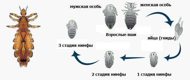 Как размножаются вши – насколько быстро, период заражения, стадии, жизненный цикл