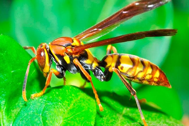 Оса - ядовитые насекомые | описание, фото и видео