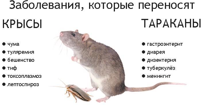 Какие болезни переносят мыши, пути передачи инфекций 2021