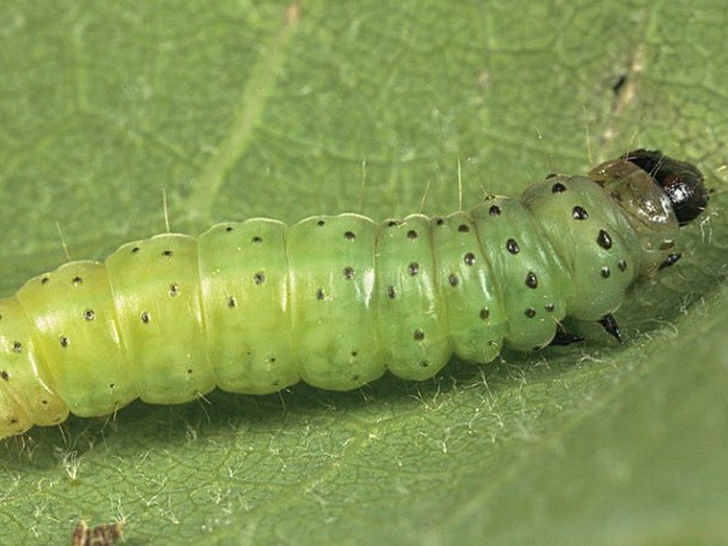 Гусеница совки, способы борьбы и описание вредителя