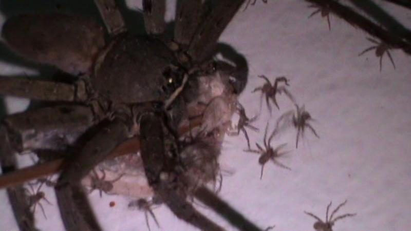 Самые большие пауки в мире