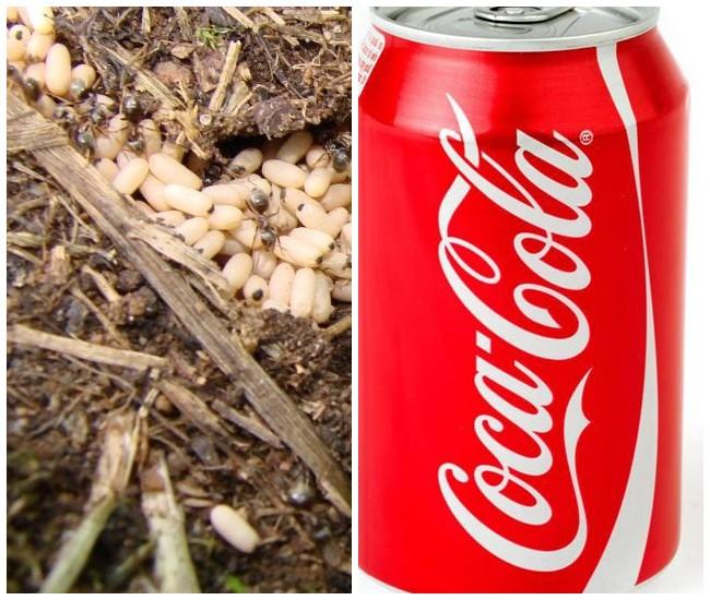 Кока-кола – эффективное средство для борьбы с вредителями и болезнями растений в огороде