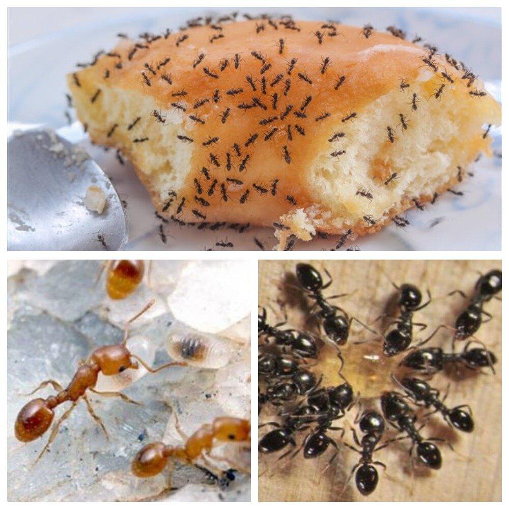 Как избавиться от муравьёв в квартире (домашних рыжих и прочих): рецепты с борной кислотой и другими средствами + фото и видео
