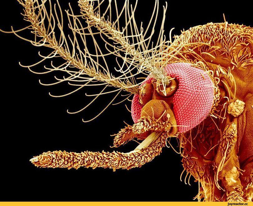 Нос комара под микроскопом. шесть тонких игл - ученые сняли на видео, как комар пьет кровь. как снять зуд от укусов комаров