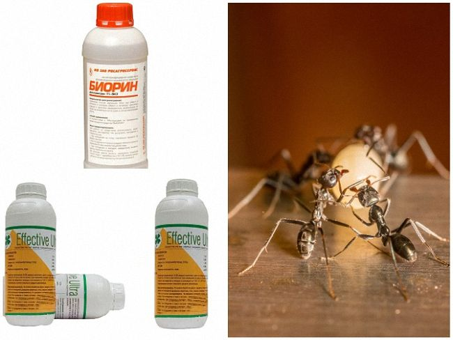 Как избавиться от муравьев в бане и из бревен