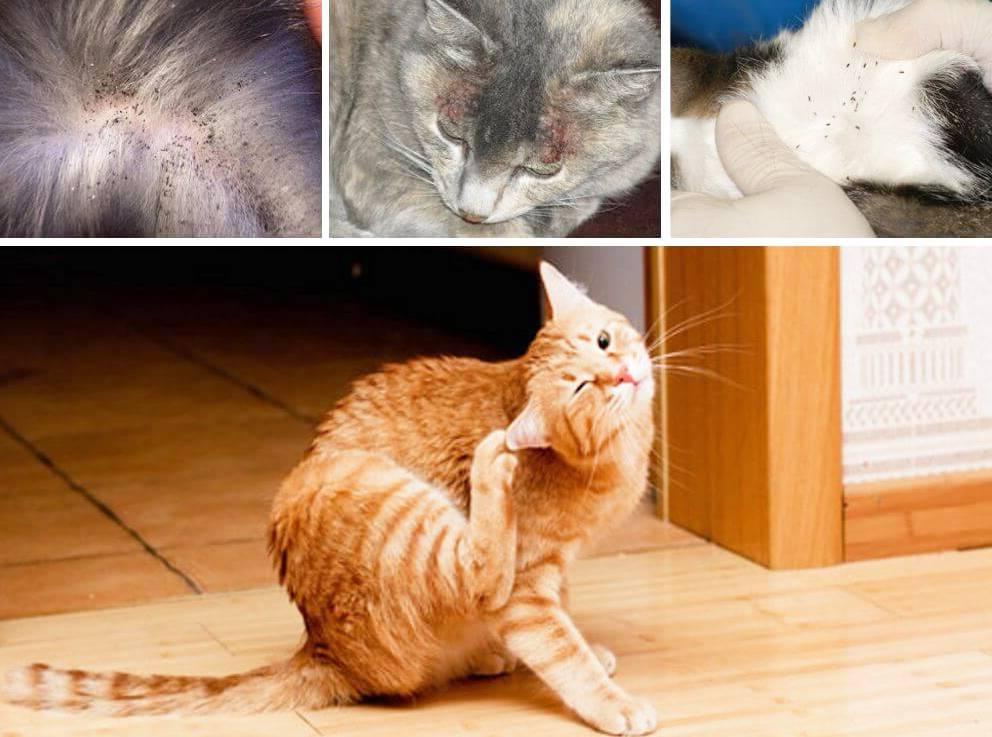 Блохи у кошки: эффективные способы лечения и профилактики