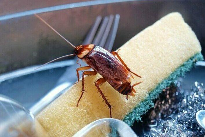 При какой температуре умирают тараканы и какую могут выдержать?