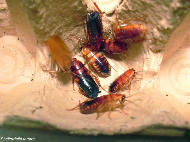 Чем кормить тараканов