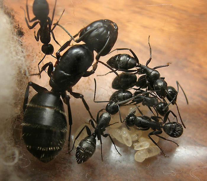 Супер королевский черный муравей (super black ant king)
