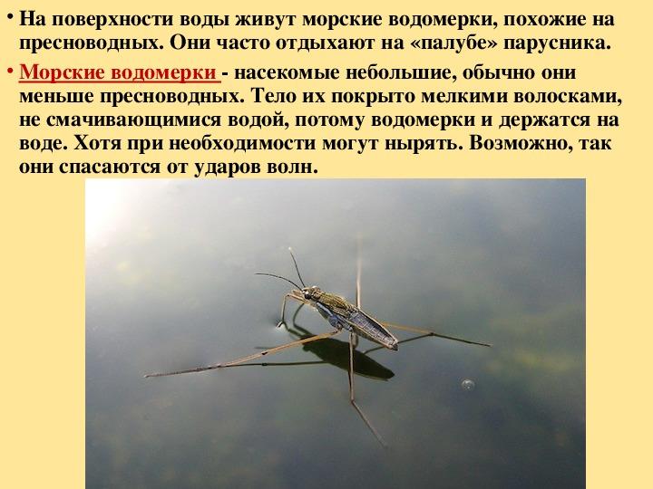 Клоп водомерка: описание, фото, чем полезен и опасен