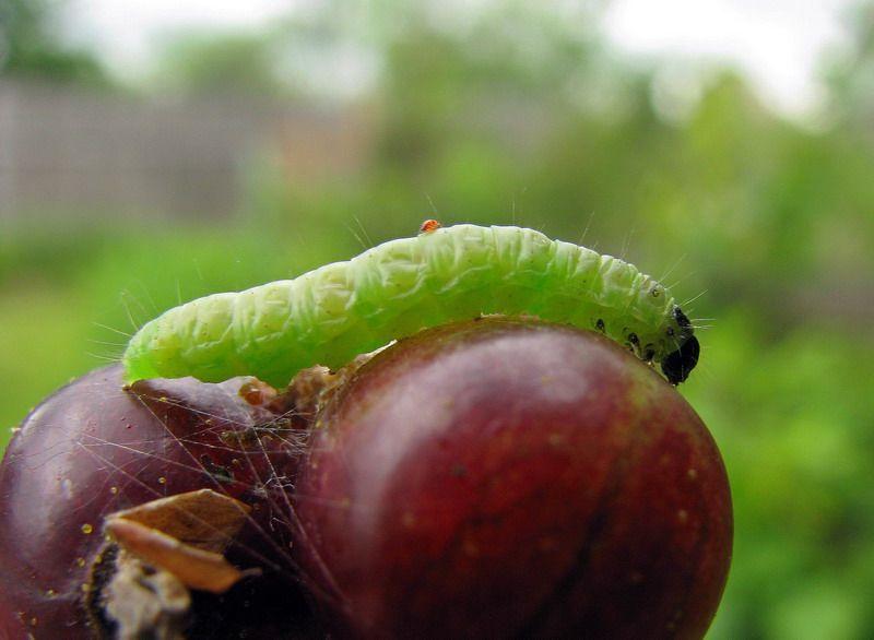 Как распознать яблонную плодожорку и как бороться с вредителем