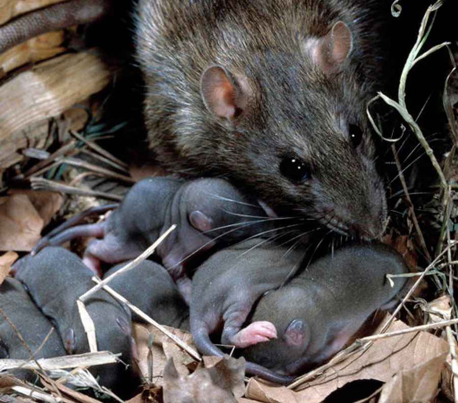 Сколько лет живут декоративные домашние крысы в домашних условиях