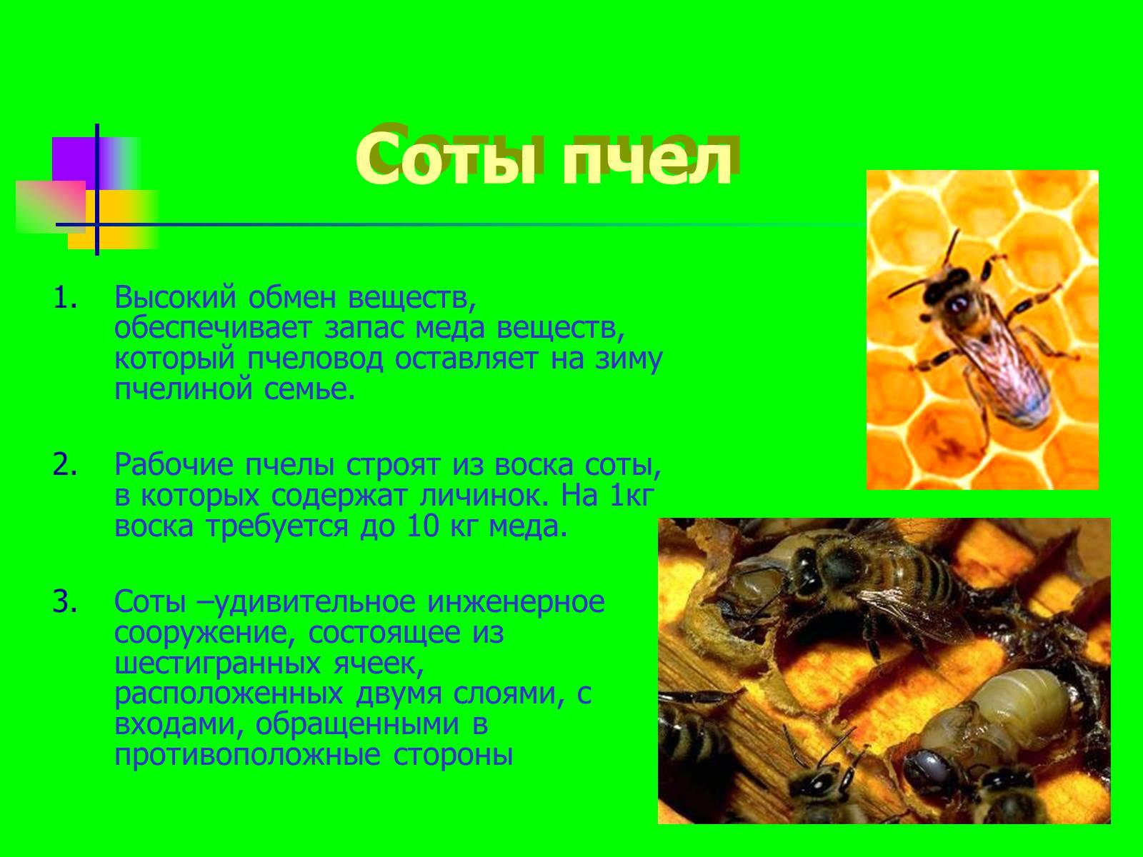 Пчела: описание, размножение, образ жизни, интересные факты