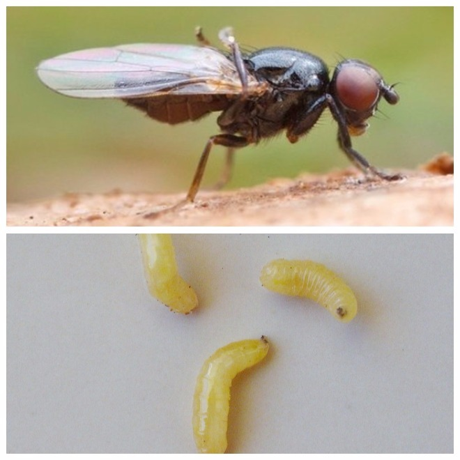 Самые опасные дынные вредители: паутинный клещ, дынная муха, проволочник и подгрызающая совка