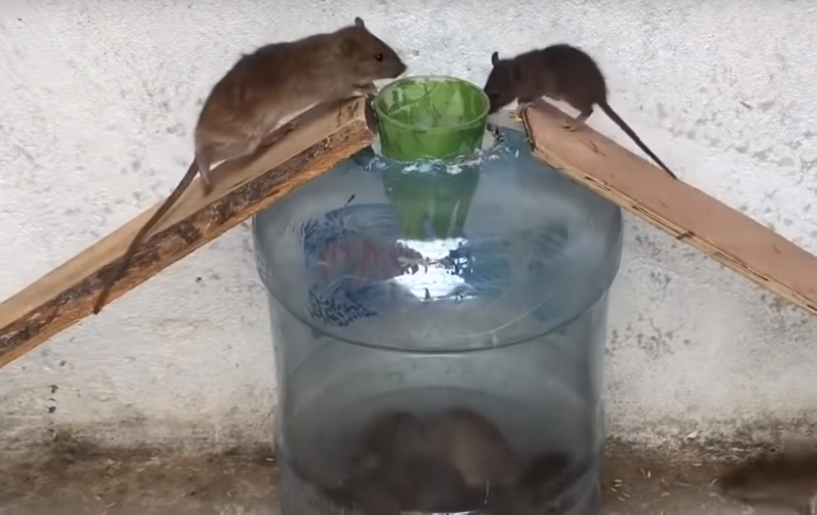 Крысоловка своими руками: 8 наиболее эффективных самодельных ловушек (советы, как их сделать, а также видео по теме)