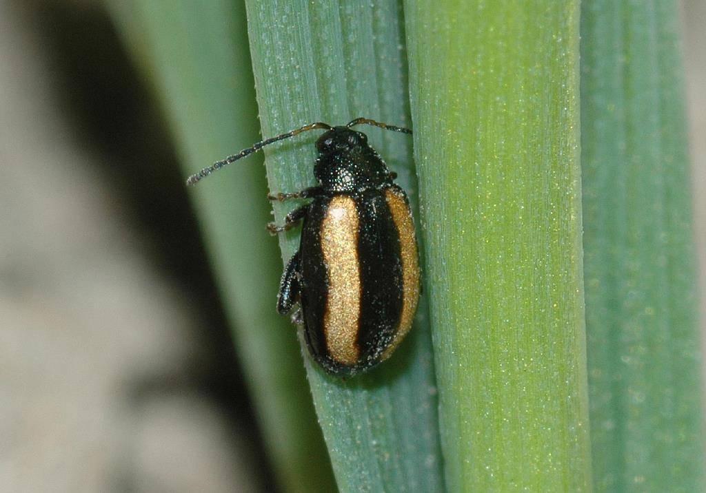 Волнистая блошка - прыгающие и летающие жуки на листьях крестоцветных