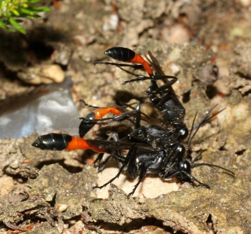 Зомби среди животных: оса-наездник, мокрица-присоска и гриб, вызывающий суицид у муравьев