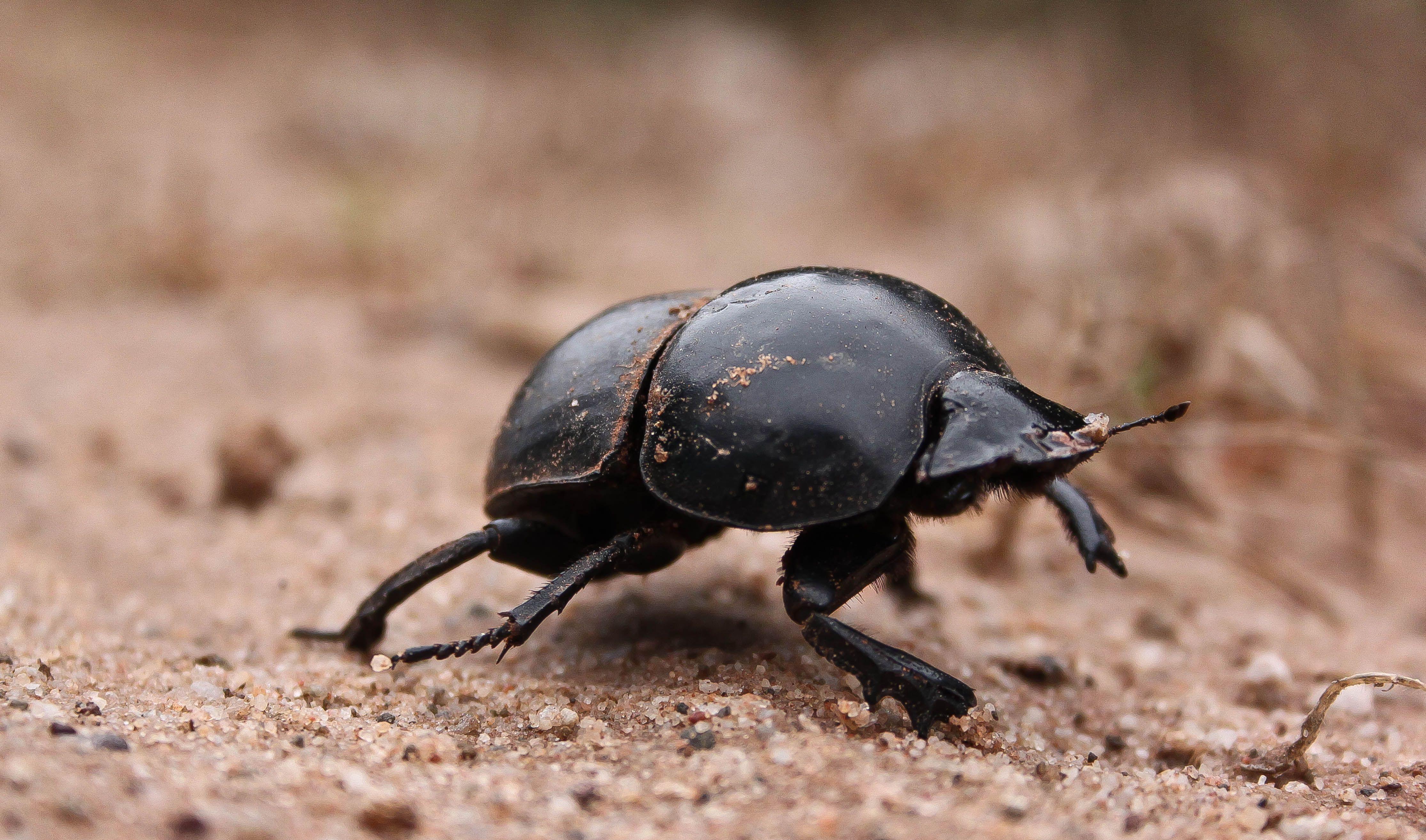 Жук навозник и скарабей одно и тоже | что говорят насекомые