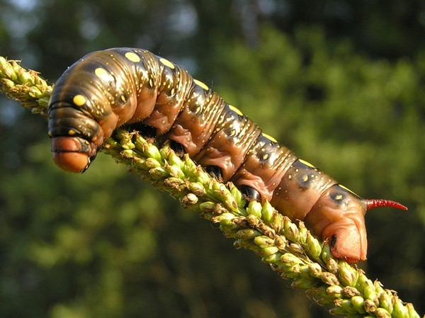 Гусеница - 110 фото самых интересных и необычных видов гусениц