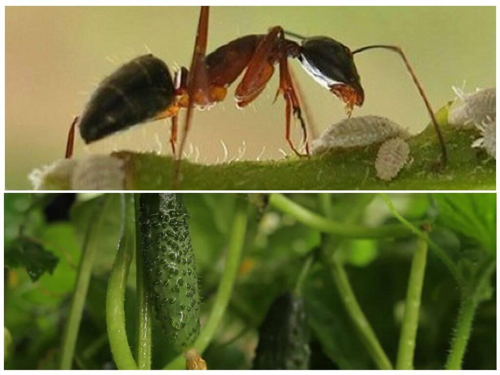 Как уберечь огуречную грядку от муравьёв? | огородник муравьи на огуречной грядке — приговор для урожая? | огородник