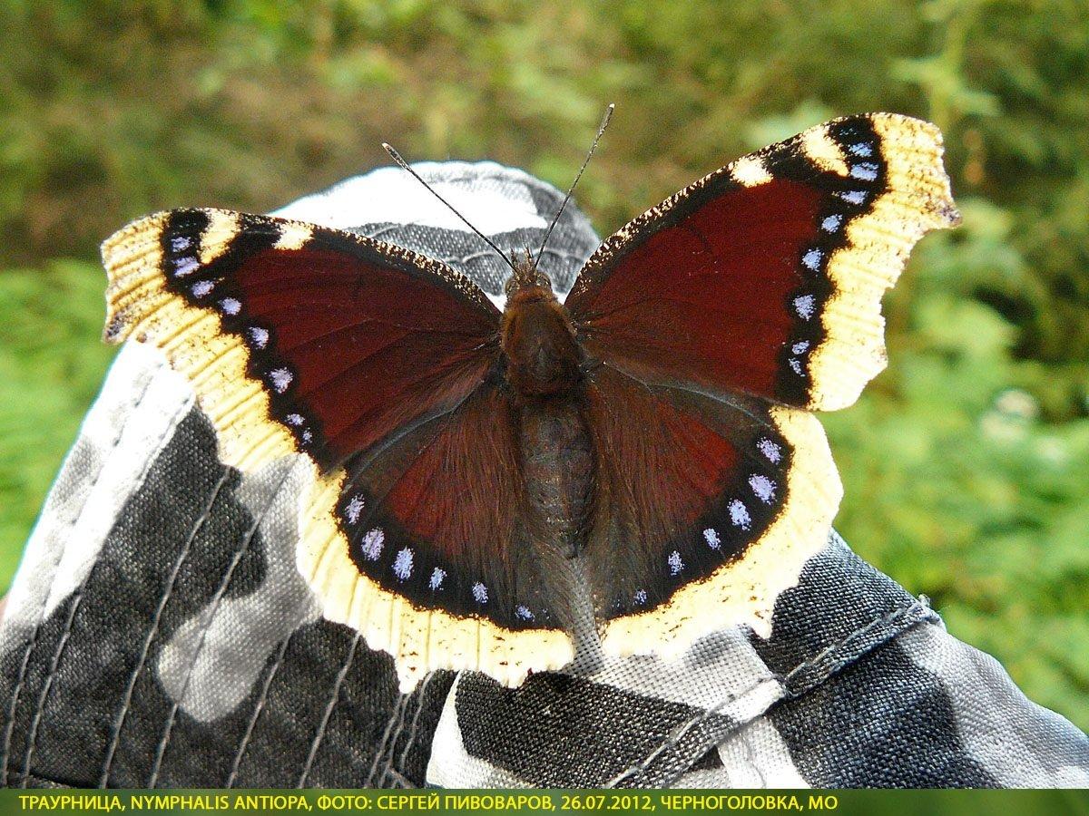 Бабочка червонец огненный (фото): образ жизни и близкие виды