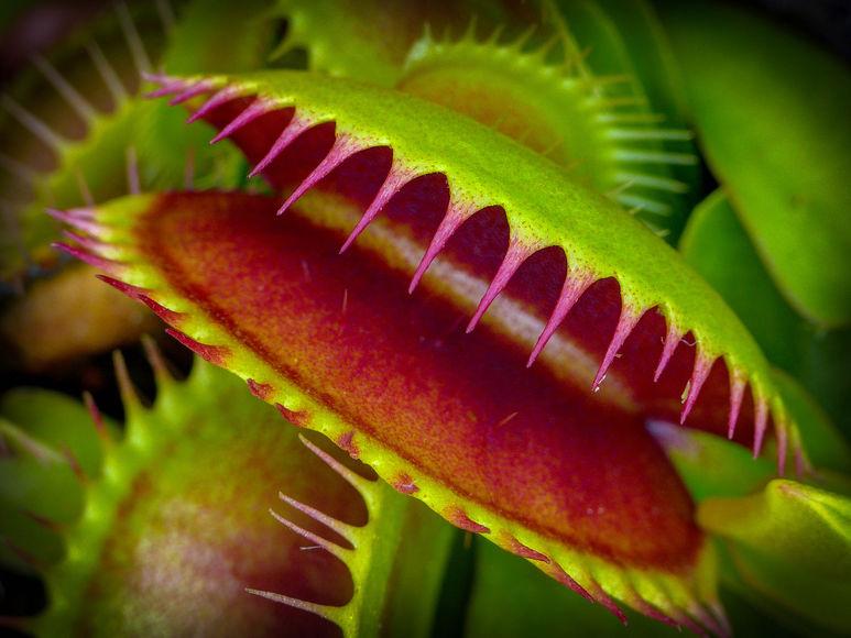 Цветок, который ест мух - как называется растение