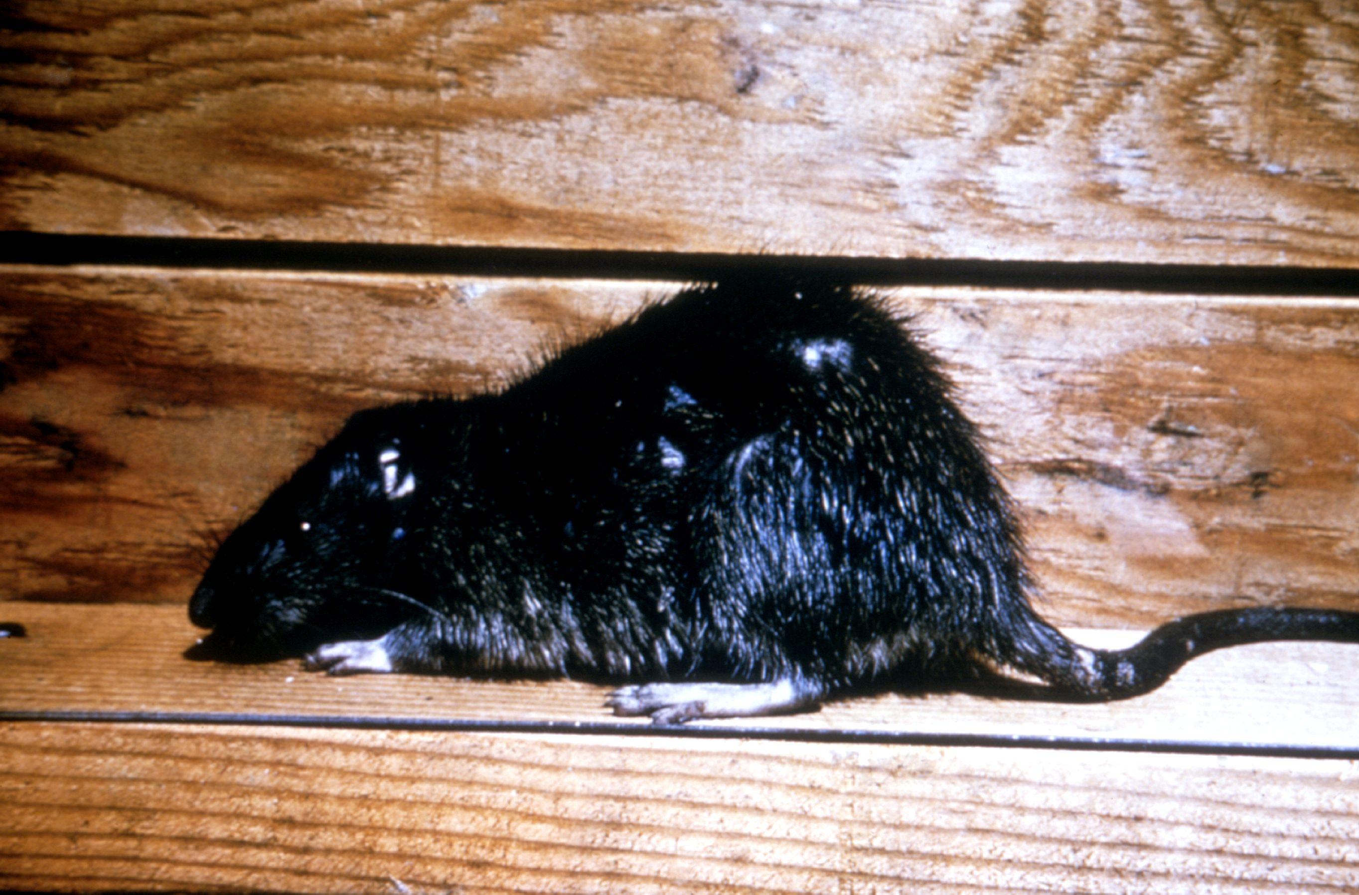 Черная и рыжая крысы: большой урон от маленького врага