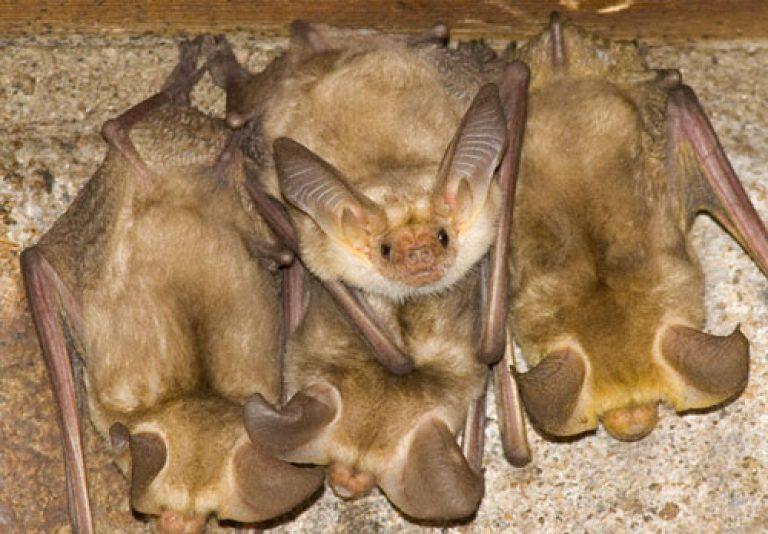 Как избавиться от летучих мышей, живущих под крышей